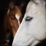 Castle Leslie horses